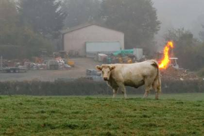 Picture by Bertrand Kulik / Guzelian  Pictured: Cow in Issy l'evêque, France, where he is caught on camera letting one of his 500 litres a day slip as blast of fire from his rear end gave him away. SEE GUZELIAN COPY This cow was holding no prisoners as he let rip with such gusto that a flame appeared to blast out from his rear end. As a methane machine, he produces up to 500 litres of the toxic gas every day because he regurgitates his food, and on this occasion his efforts were enough to light up the room.   His actions might have gone unnoticed as he tried to lift a cheek without even flinching, but he was caught in his tracks as a bright flame shot out from his rump.